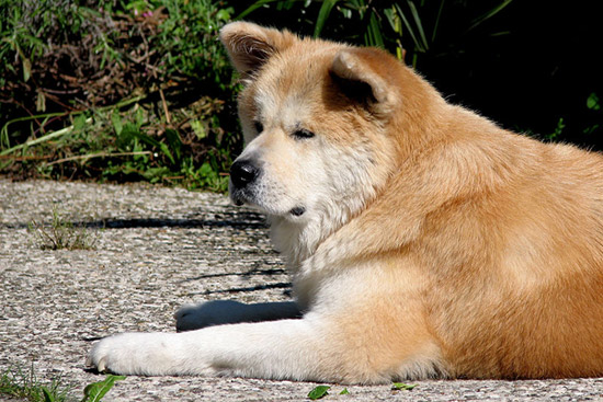 it was nationally recognized and re-named to Akita Inu (inu means dog