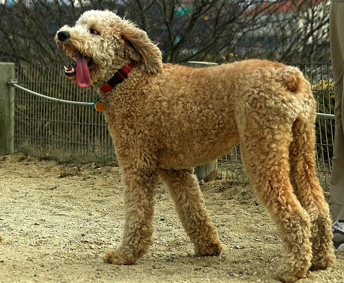 Apricot Standard Poodles | www.imgkid.com - The Image Kid ...