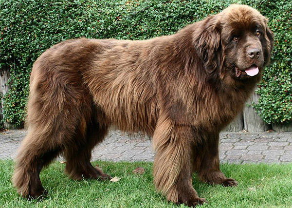 The Biggest Dog Breeds Pt 2