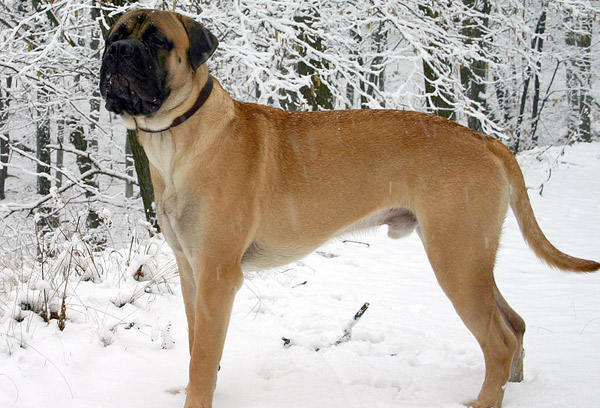 large dog breeds list. Bullmastiff dogs are a cross