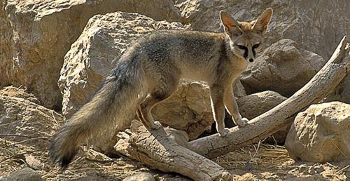 Blanford's Fox