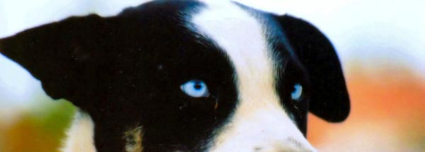 Blue Eyed Dog