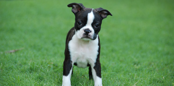 Tuxedo colored dog