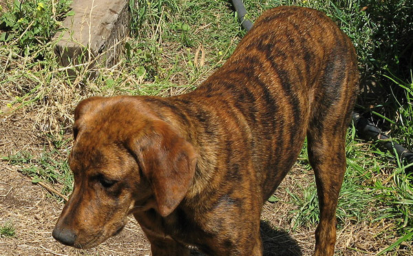 Brindle Dog Breeds