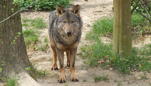 Desailly - Types of Wolves