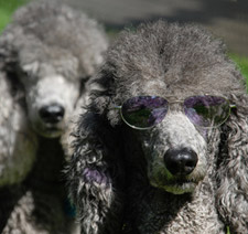 Poodle with purple sunglasses on