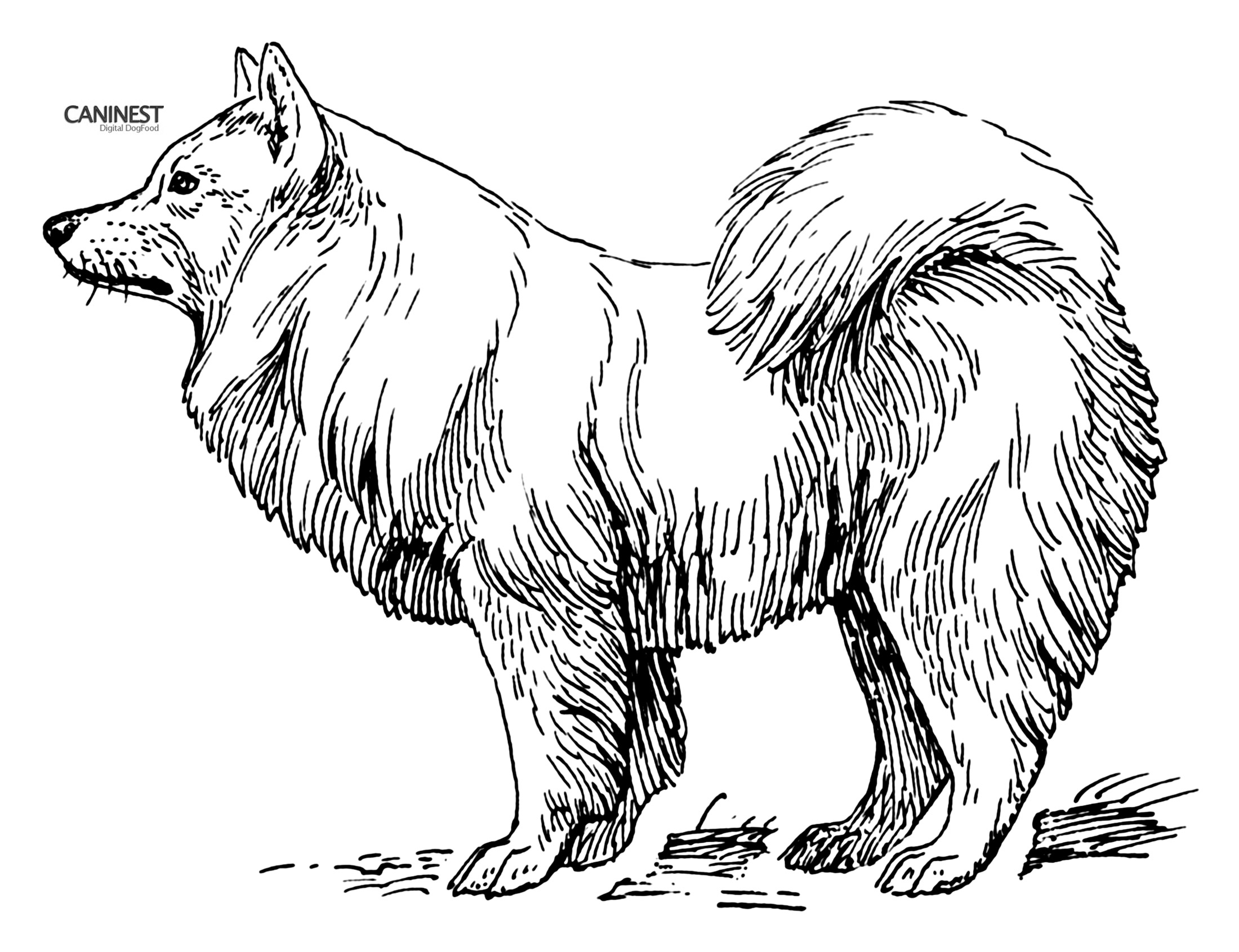 samoyed coloring pages