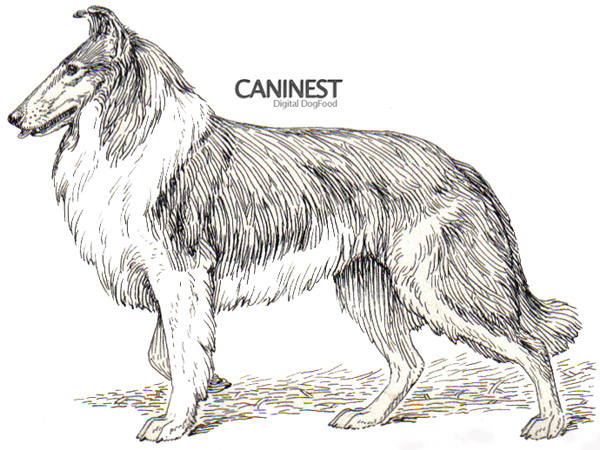 Collie Line Drawing