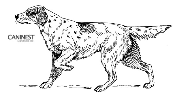 Setter Line Drawing