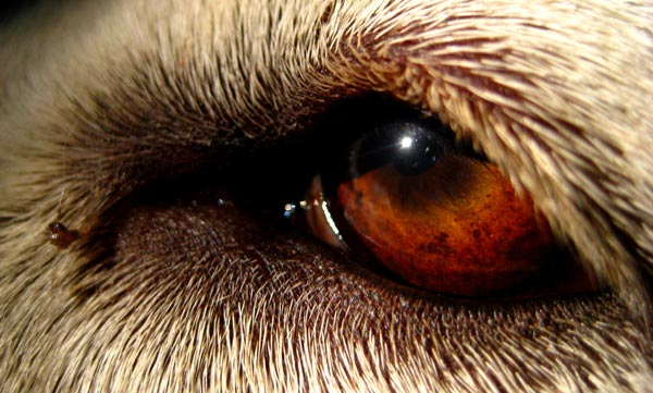Pictures Of Eyes Up Close. Dog Eyes Up Close