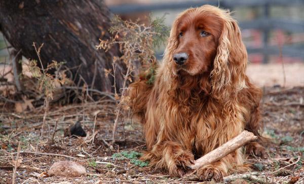 Dog feathering