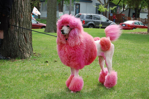 Blue Dyed Standard Poodle The Radical Antfarm: P...