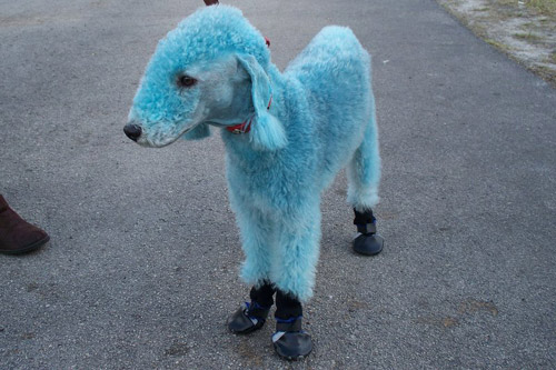 Dyed Poodle