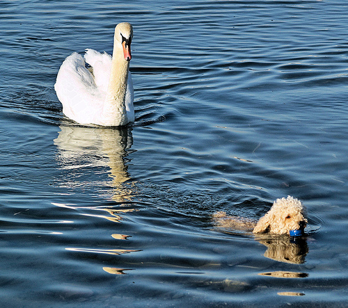 Dog swimming with swan chasing