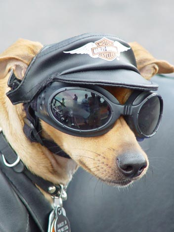 Dog dressed like a biker