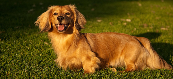 Long-haired coat dog