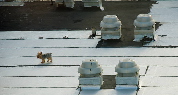 Rooftop Dog