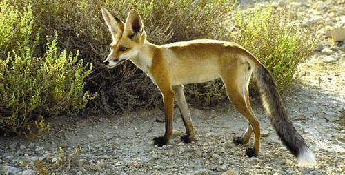 Ruppell's Fox