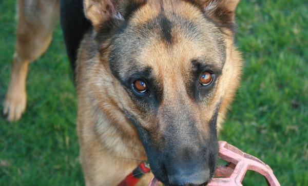 Sable dog