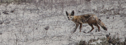 Sechura Fox