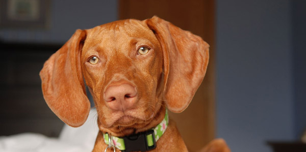 V-shaped ear dog