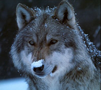 Wolf with snow on its nose