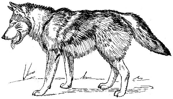 Line Drawing Wolf : Wolves for coloring
