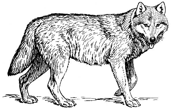 Wolf Line Drawing